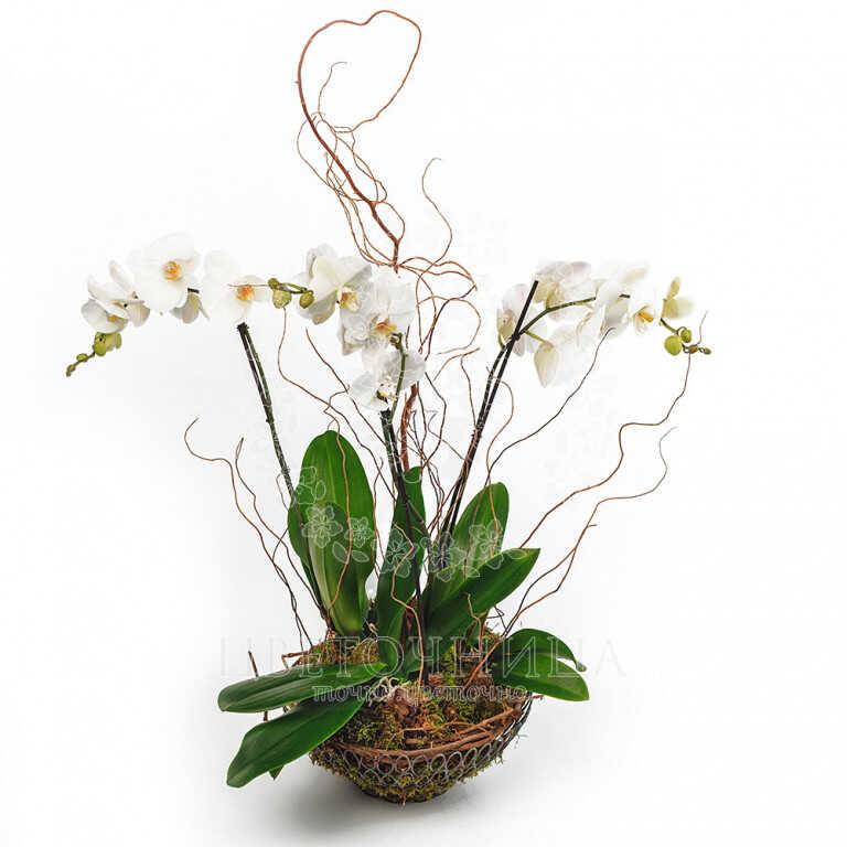 Заказать Горшечное растение «Элегантность и нежность»