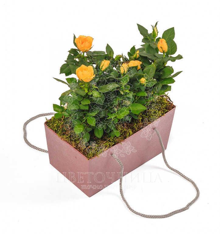 Заказать Горшечное растение «Дева-роза»