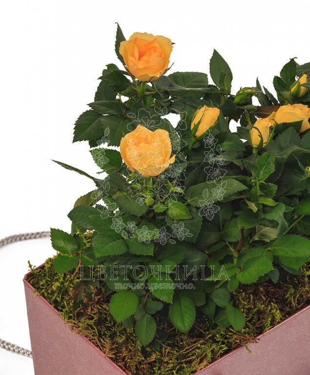 Доставить Горшечное растение «Дева-роза»