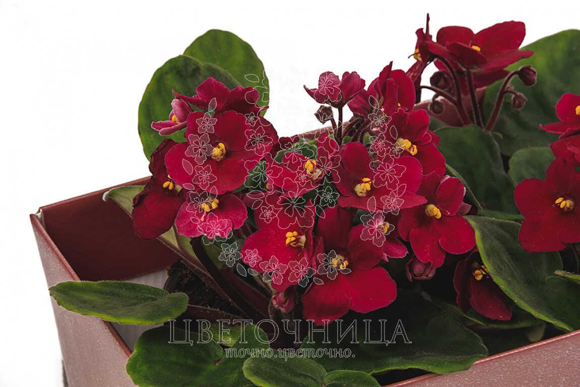 Доставить Горшечное растение «Фиалка - сказочный цветок»