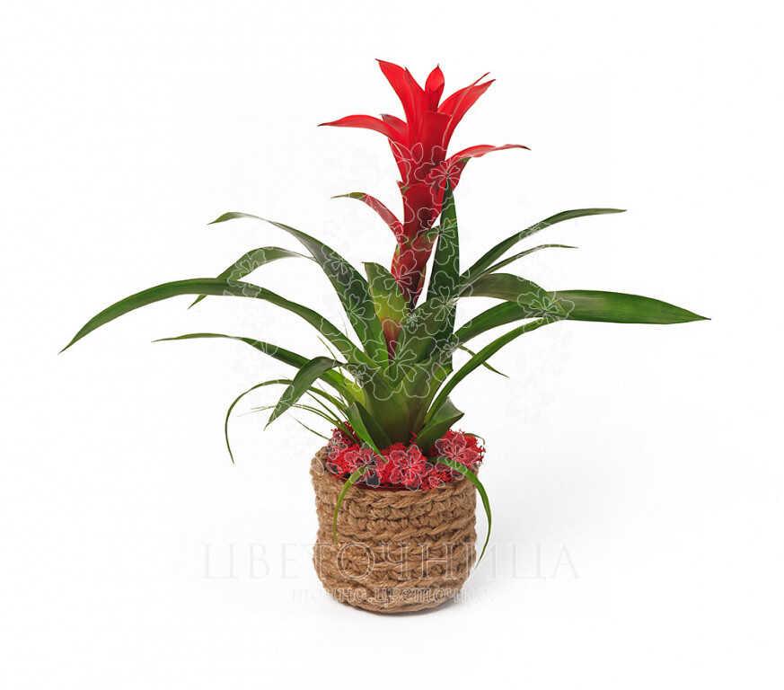 Заказать Горшечное растение «Долголетие»