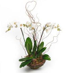 Горшечное растение «Элегантность и нежность»