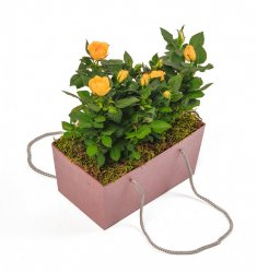 Горшечное растение «Дева-роза»